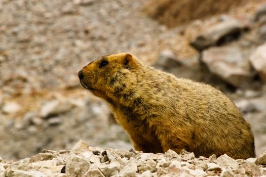 A Himalayan Marmot